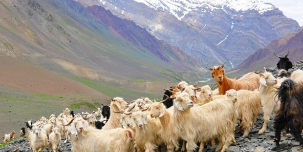 Cashmere-Goats-Himilayas-668x336
